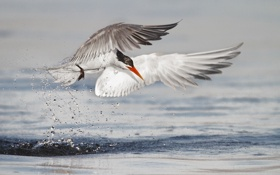 Обои брызги, птица, крылья, охота, крачка