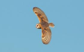 Обои сова, полет, небо, животные