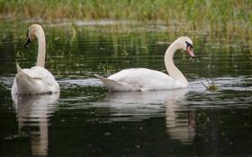 Картинка трава, вода, птицы, пара, грация, белые, лебеди