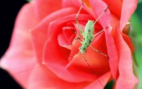 Обои макро, роза, жук, насекомое