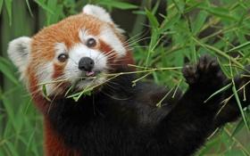 Картинка бамбук, красная панда, firefox, малая панда