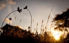 Обои колоски, трава, вечер, macro, лето