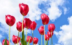 Картинка небо, облака, цветы, лепестки, тюльпаны
