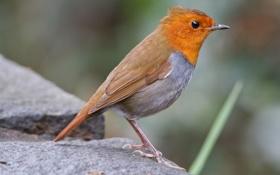Картинка птица, оранжевая, размытость, камень