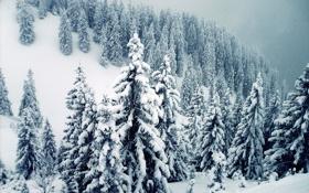 Обои снег, ветки, елки, гора, сугробы