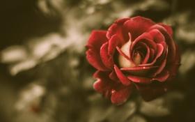 Картинка rose, vintage, flower