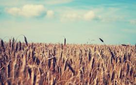 Картинка колосья, небо, лето, природа, поле, пшеница
