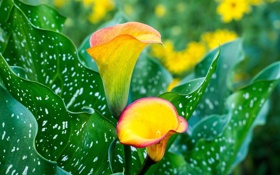 Обои листья, каллы, leaves, Calla, flowers, цветы