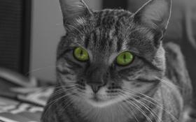 Картинка кот, усы, взгляд, морда, кошак, полосатый, котяра