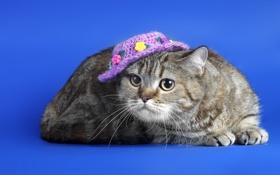 Обои кошка, фон, шляпка