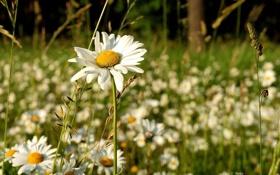 Обои трава, солнце, лето, цветение, ромашки, поляна, обои