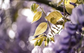 Обои макро, цветы, растения, синие, глициния