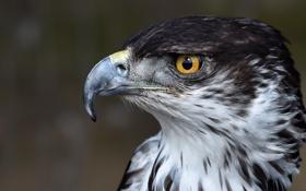 Картинка взгляд, перья, клюв, хищник. птица