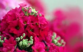 Обои яркие, бутоны, цветы, герань, малиновые