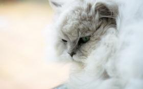 Обои кошка, кот, белая, пушистая