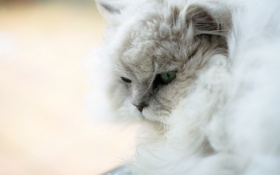Картинка кошка, кот, белая, пушистая