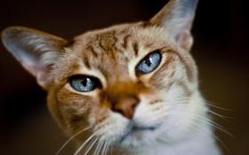 Картинка кот, взгляд, мордашка