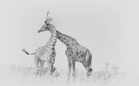 Обои природа, фон, жирафы