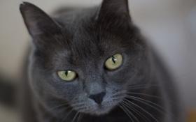 Обои кот, серый, строгий