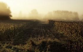 Картинка поле, природа, туман, кукуруза, утро