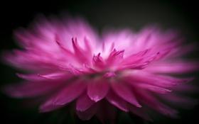 Обои цветок, макро, розовый, лепестки