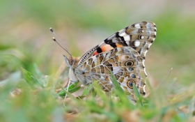 Обои бабочка, трава, размытость
