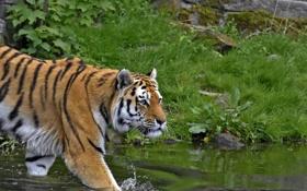 Обои кошка, трава, взгляд, тигр, водоём, амурский