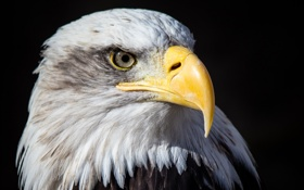Картинка темный фон, птица, портрет, хищник, клюв, красавец, белоголовый орлан