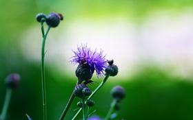 Обои цветок, растение, бутоны, Evening purple