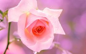 Обои роза, цветок, розовый, макро