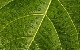 Обои капли, вода, лист, макро