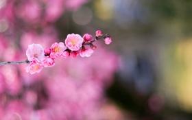 Обои цветок, flower, japan, pink, macro, боке, bokeh