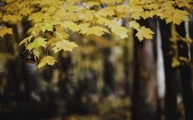 Картинка осень, листья, дерево, желтые, оранжевые, клен