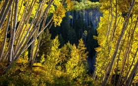 Обои осень, листья, деревья, Колорадо, США, осина, Аспен
