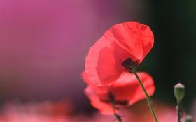 Картинка цветок, макро, красный, мак