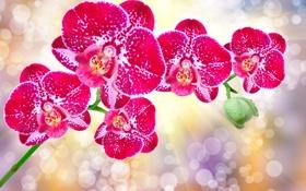 Обои цветы, орхидея, flowers, orchid