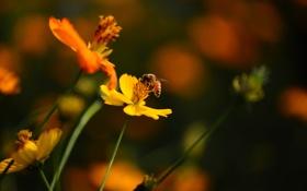 Картинка фон, пчела, космея, цветы
