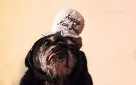 Обои фон, собака, шляпа