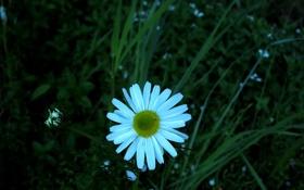 Картинка цветок, трава, макро, ромашка