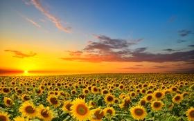 Обои поле, подсолнухи, цветы, цветение, field, flowers, sunflowers