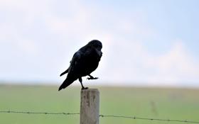 Обои птица, черный, столб, ворон, колючая, проволка