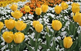 Картинка тюльпаны, тюльпан, цветок, природа, весна, цвета, цветы