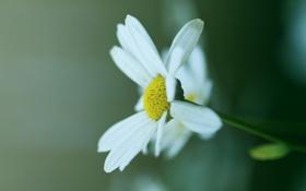 Картинка макро, зеленый, растение, цвет, лепестки, ромашка
