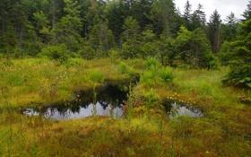 Картинка лес, небо, трава, вода, деревья, болото