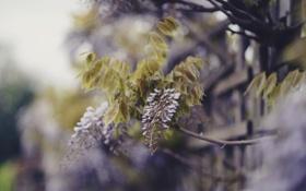 Картинка цветы, ветки, природа, забор, размытость, зеленые, сиреневые