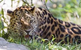 Обои трава, хищник, леопард, оскал