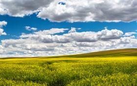 Обои поле, лето, небо, облака, цветы, желтые, рапс