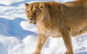 Обои зима, кошка, взгляд, снег, львица, ©Tambako The Jaguar