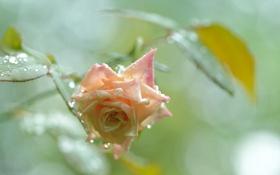 Обои капли, розовая, роза, бутон, росинки