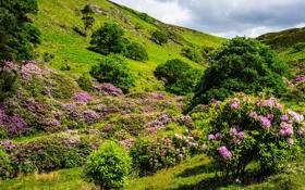 Картинка деревья, цветы, природа, холм, цветение, кустарники